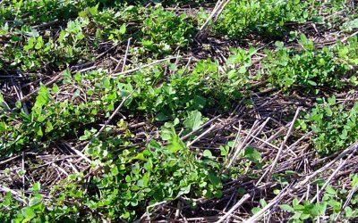 Evaluación de la implantación de verdeos invernales y pasturas perennes templadas