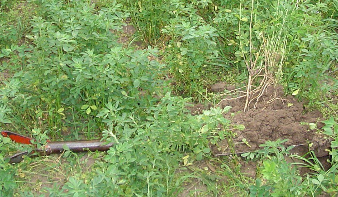 Siembra de pasturas base alfalfa en primavera