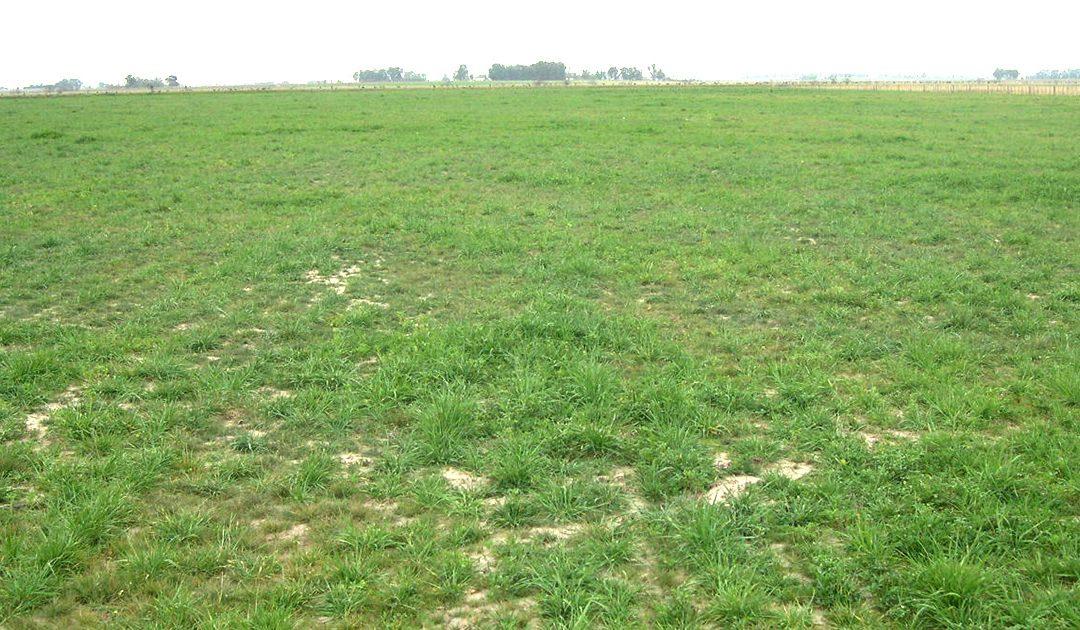 Utilización de las pasturas perennes templadas base gramíneas en primavera