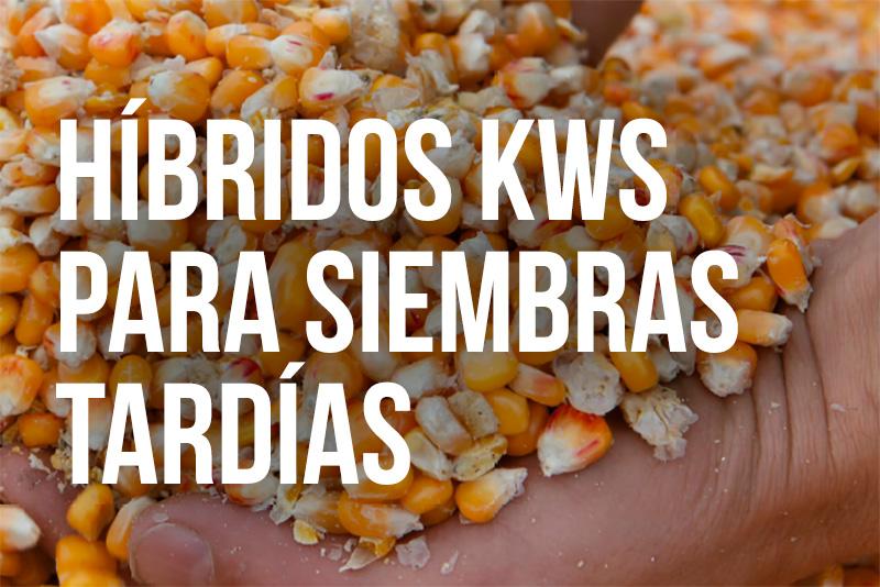 Híbridos Maíces KWS para siembras tardías